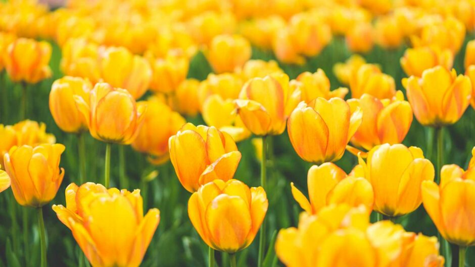Meadow of Blooming Yellow Tulips